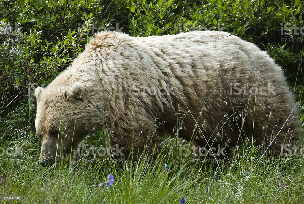 Profile of Foraging Adult Brown Bear royalty-free stock photo