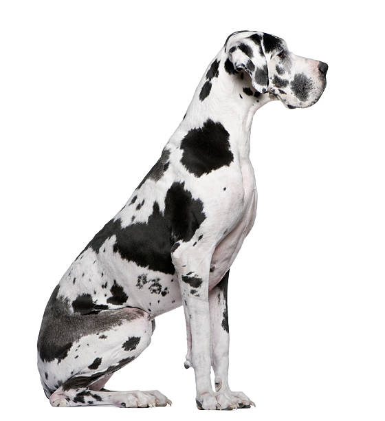 Profile of Great Dane Harlequin sitting and looking away. stock photo