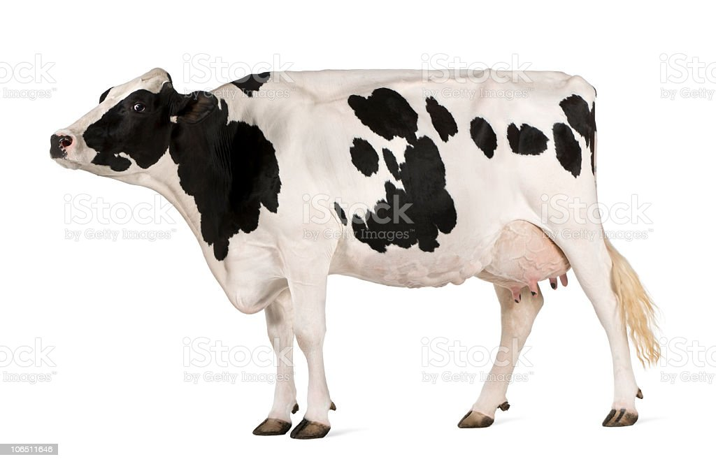 Profile Of Holstein Cow In A Showmanship Pose Stock Photo