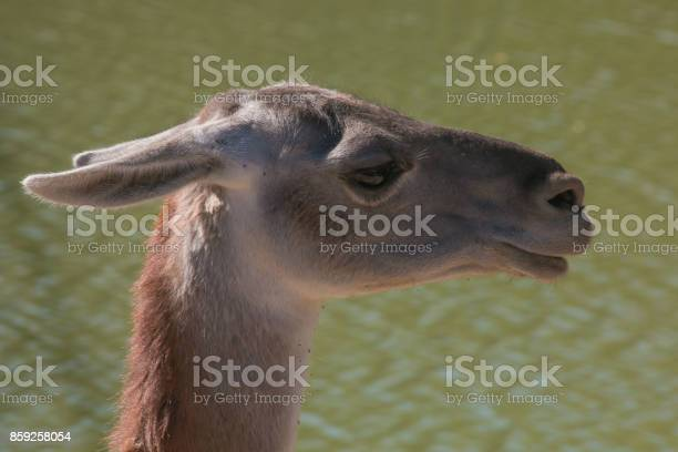 Profile of Llama