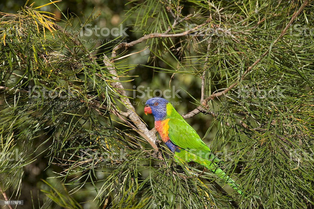 Profile of Lorikeet parrot perched on a tree. royalty-free stock photo