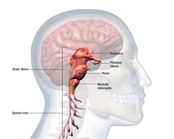 Profile of Male Head with Brain Stem Anatomy Labeled Computer Generated Image: Sideview of a transparent head of a man with the brain stem isolated and labeled against a white background. brain stem stock pictures, royalty-free photos & images