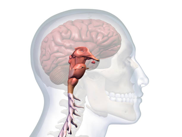 Profile of Male Head with Brain Stem Anatomy stock photo