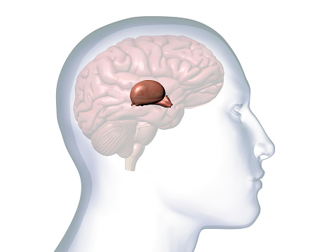Computer Generated Image: Sideview of a transparent head of a man with the Thalamus, Hypothalamus and Pineal Glands isolated within the brain against a white background.