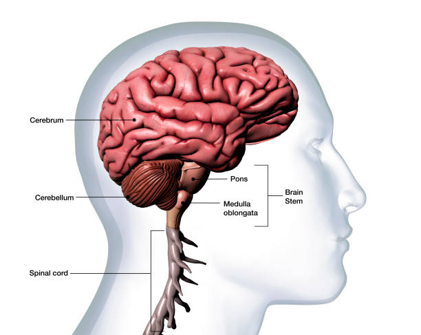 Profile of Man's Head with Brain Anatomy Labeled on White Background Computer Generated Image: Sideview of a transparent head of a man with the brain parts isolated and labeled against a white background. cerebellum stock pictures, royalty-free photos & images