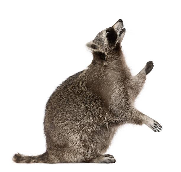 Profil de raton laveur, debout et regarder. - Photo