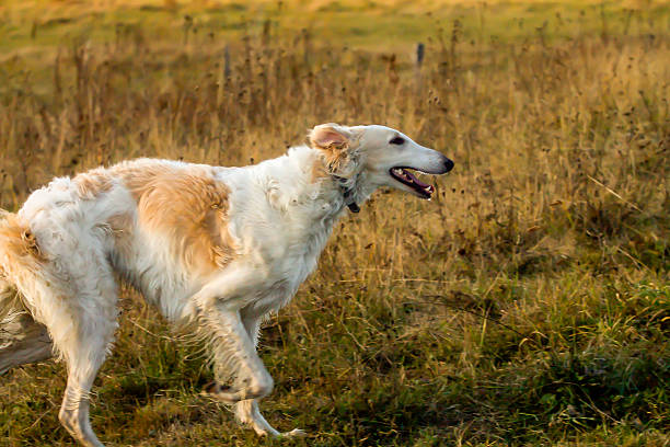 Profile of Running Russian Wolfhound Dog stock photo