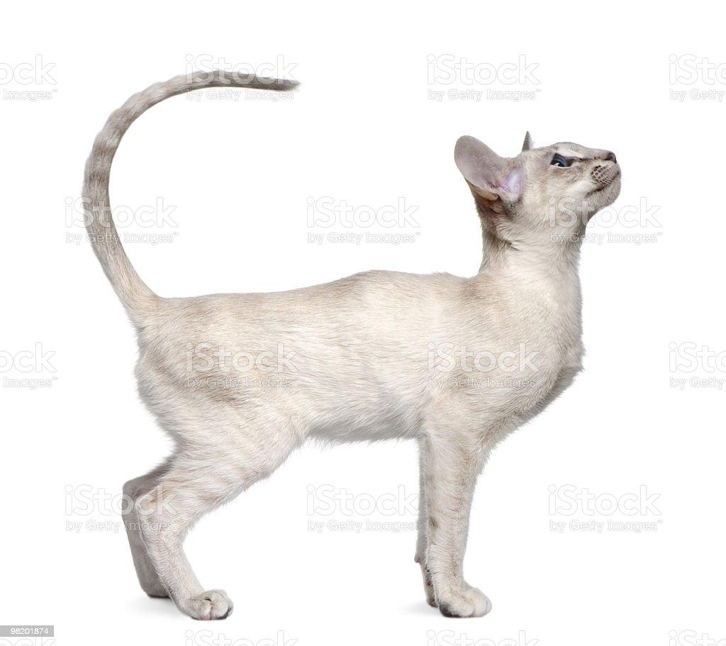 프로필을 시아미스 고양이 새끼, 입석 및 루킹 바라요 royalty-free 스톡 사진