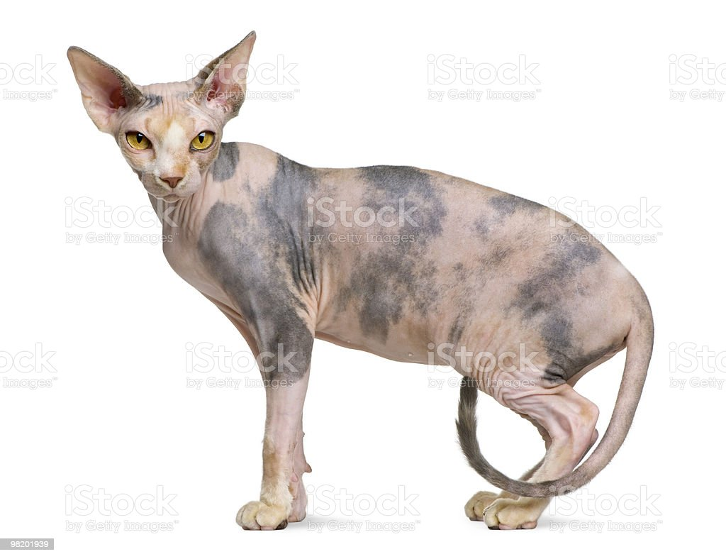Profile of Sphynx cat, standing and looking at the camera royalty-free stock photo