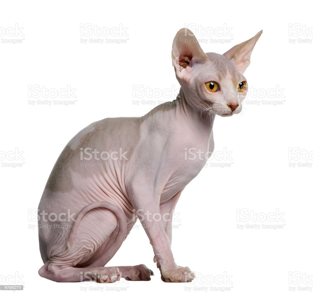 Profile of Sphynx kitten sitting and looking away stock photo