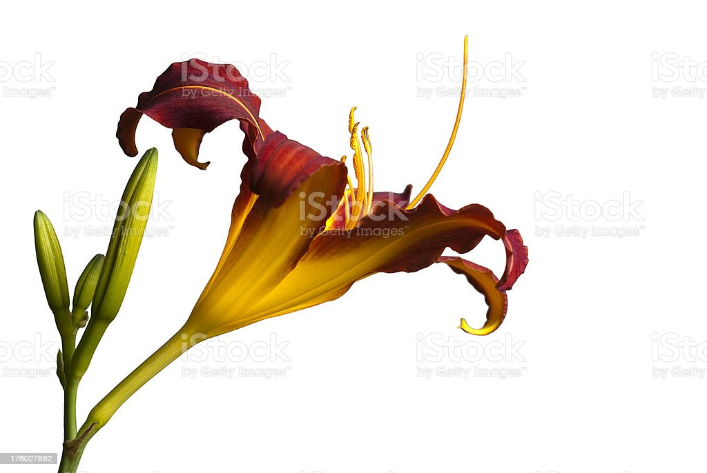 Profile of Tiger Lily stock photo