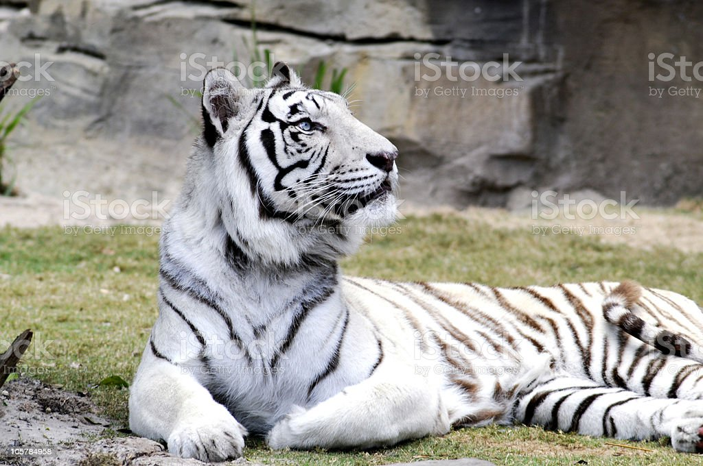 Profile of White Bengal Tiger Looking Up stock photo