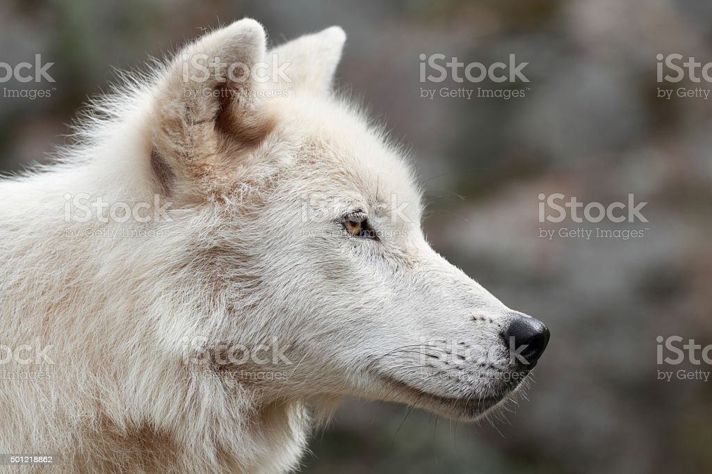 profile of wolf stock photo