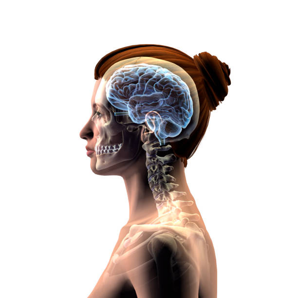 Royalty Free Human Nervous System Anatomy Female Human Skeleton
