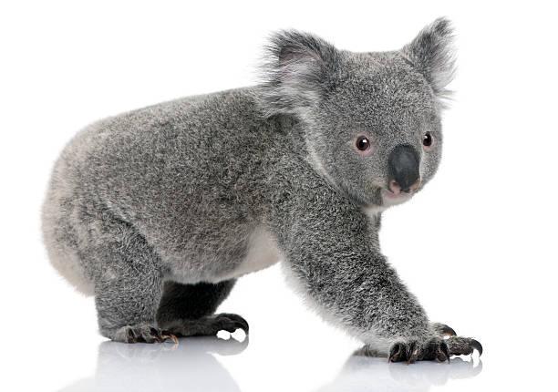 Profil junge koala, stehend und Blick in die Kamera – Foto