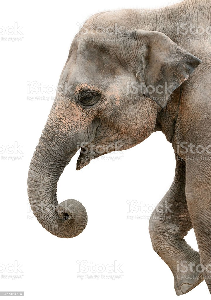 Profile portrait of a happy elephant stock photo