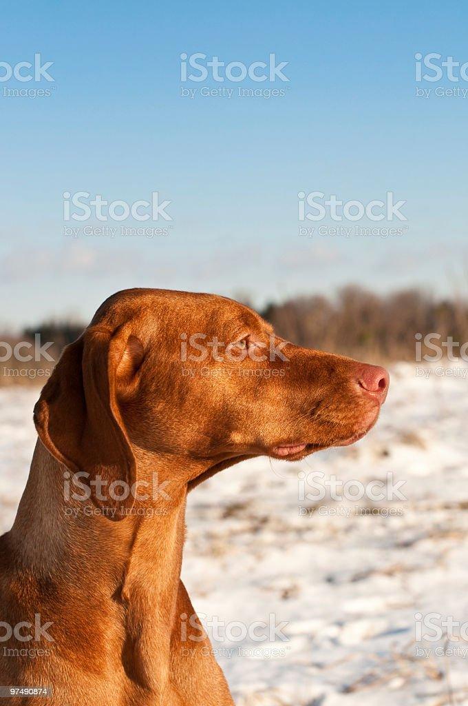 Profile Portrait of a Vizsla Dog with Blue Sky royalty-free stock photo