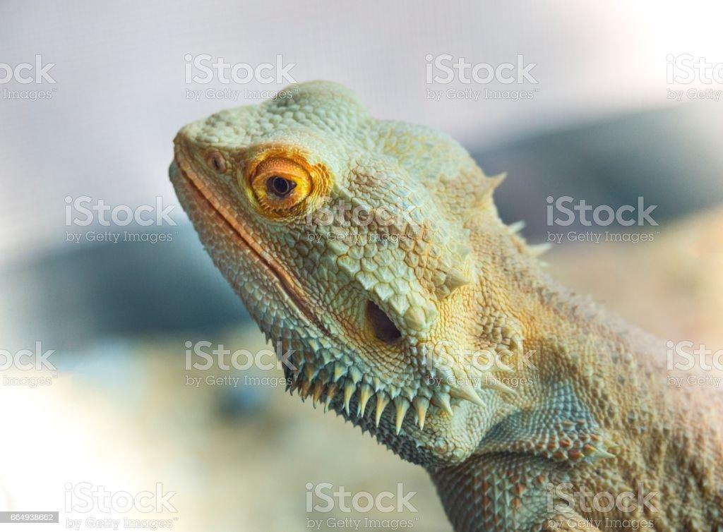 Profile :  Portrait Of Beautiful Small Lizard stock photo
