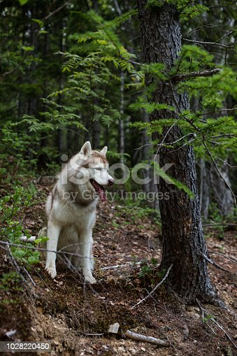Profile portrait of cute dog breed siberian husky sitting on the hill in the forest.