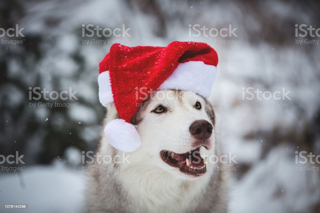 Profile Portrait of cute Siberian Husky dog wearing santa claus hat in the winter forest on snow background stock photo