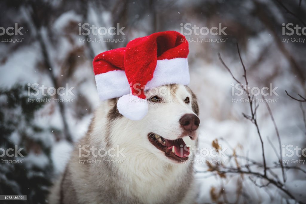Profile Portrait of funny Siberian Husky dog wearing santa claus hat in the winter forest on snow background stock photo