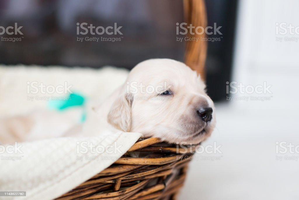 Profile Portrait Of Golden Retriever Puppy In The Basket Cute Golden Retriever Baby With Green Ribbon With Open Eyes Stock Photo Download Image Now Istock