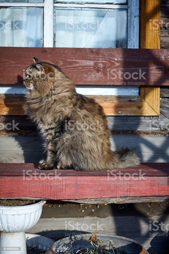 profile portrait siberian cat on bench stock photo