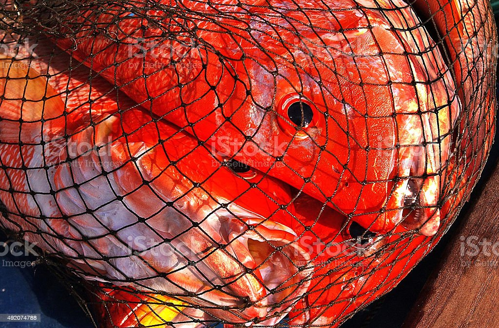 Profile red snapper stock photo