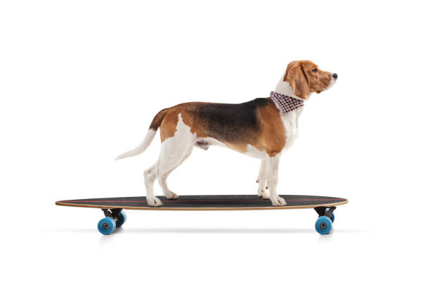 Profile shot of a beagle dog riding a skateboard picture id1201367871?b=1&k=6&m=1201367871&s=612x612&w=0&h=slmweaa2qevxq a1bw p0pbf4z95uzjtctlrgcwn9y4=