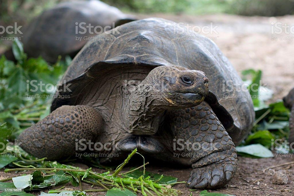 Profile shot of a giant tortoise stock photo