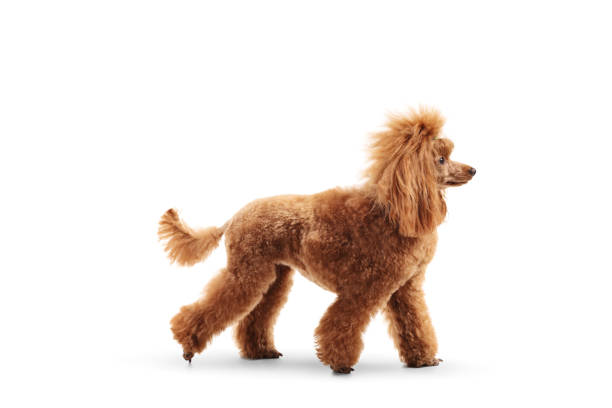 Profile shot of a red poodle walking picture id1134275976?b=1&k=6&m=1134275976&s=612x612&w=0&h=tn8aixd8pw19kbx8nhvhttzkyk9btlwch8vgph2fppw=