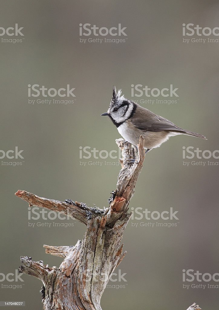 Profile view of a Crested Tit stock photo