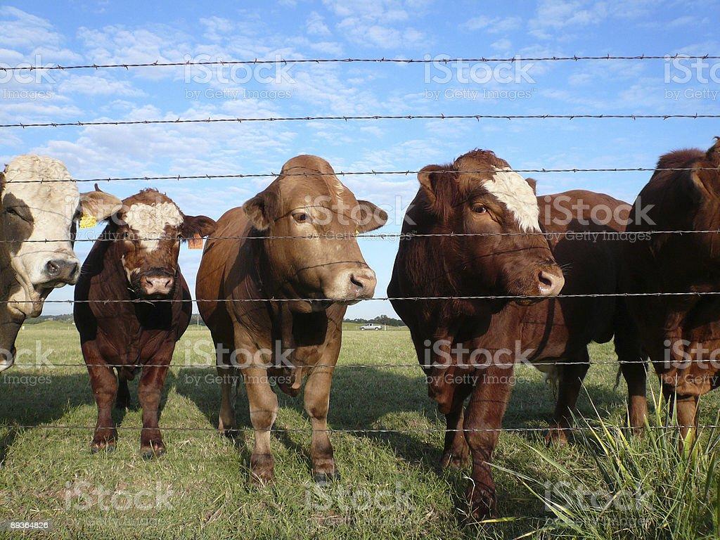 Profile view of bulls royalty free stockfoto