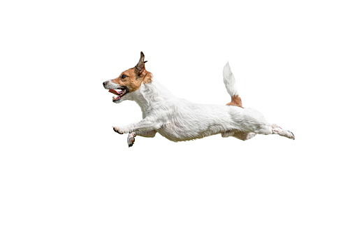 Active Jack Russell Terrier dog leaps