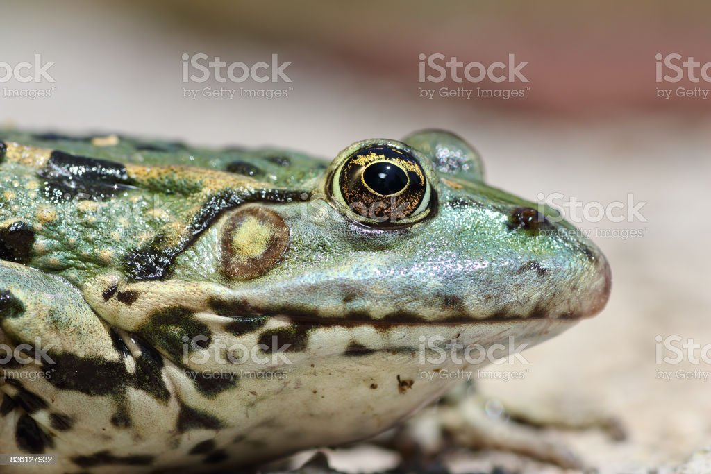 profile view of marsh frog head stock photo