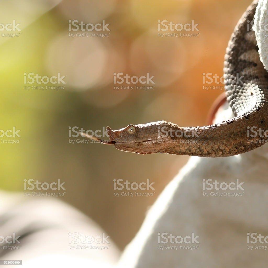 profile view of vipera ammodytes stock photo