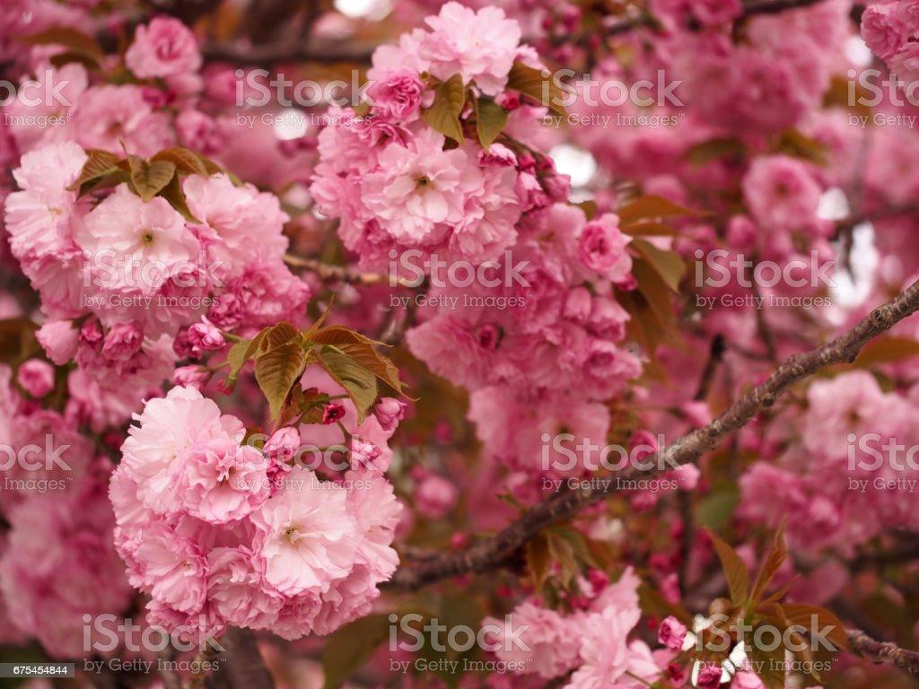 Profuse Cherry Blossoms photo libre de droits