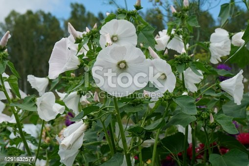 istock Profusely blooming white lavatera 'Mont Blanc' (lat. Lavatera trimestris)  in the garden in summer. 1291632577