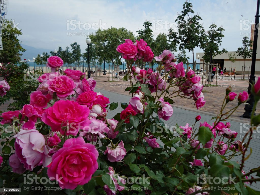 Profusely flourishing pink rose bush on a background of an alley leading to the quay. stock photo
