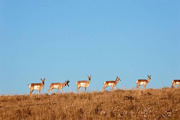 Proghorn Antelope on a Ridge stock photo