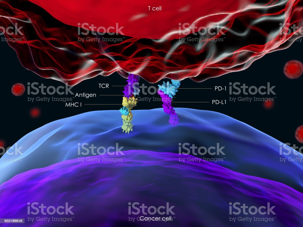 Programmed cell death protein 1 (PD-1) royalty-free stock photo