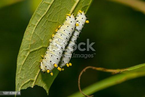 istock Promethea Silkmoth Caterpillar 1031538318