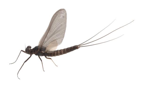 Pronggill mayfly, Leptophlebia vespertina isolated on white backgroun stock photo