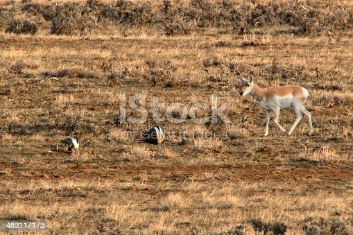 A curious pronghorn quickly walks past a couple of male sage grouse, part of dozens of greater sage grouse displaying or performing their mating ritual on a lek on the northwest plains of Colorado. The sage grouse species is in decline as its range has been greatly reduced.