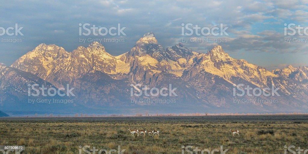 Pronghorn and Teton Range stock photo