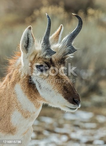 Pronghorn antelope, Antilocarpra americana, in the winter at Yellowstone National Park, WY. Male.