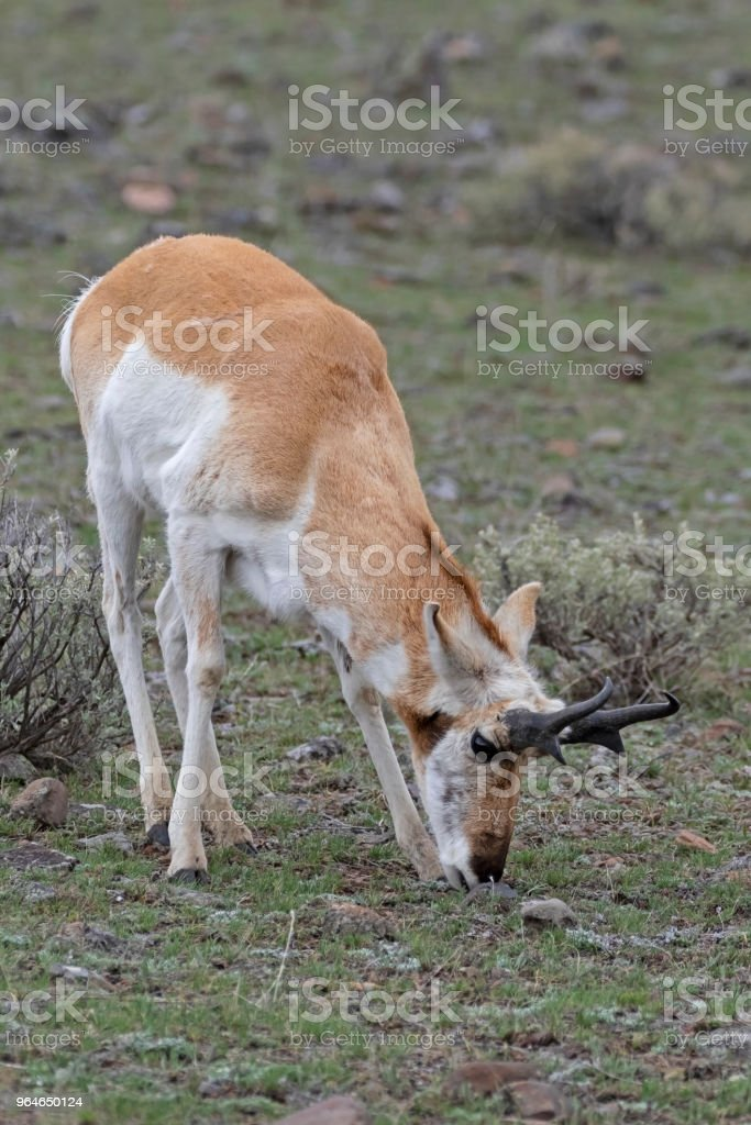 Pronghorn antelope at Yellowstone National Park royalty-free stock photo