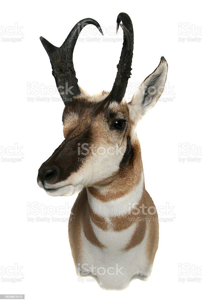 Pronghorn Antelope head royalty-free stock photo