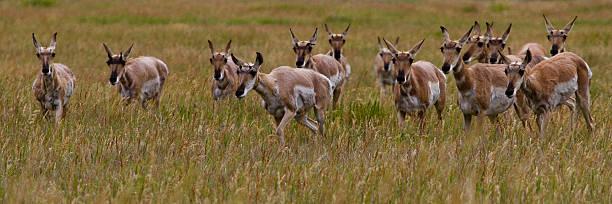 Pronghorn Antelope II stock photo