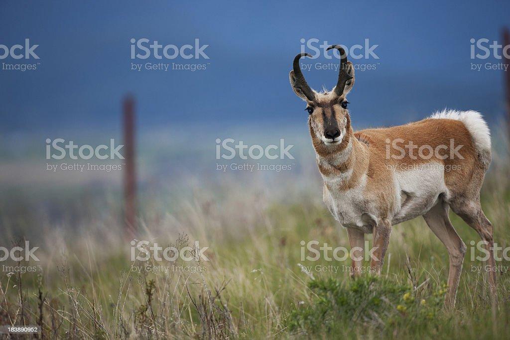 Pronghorn antelope in Montana. royalty-free stock photo